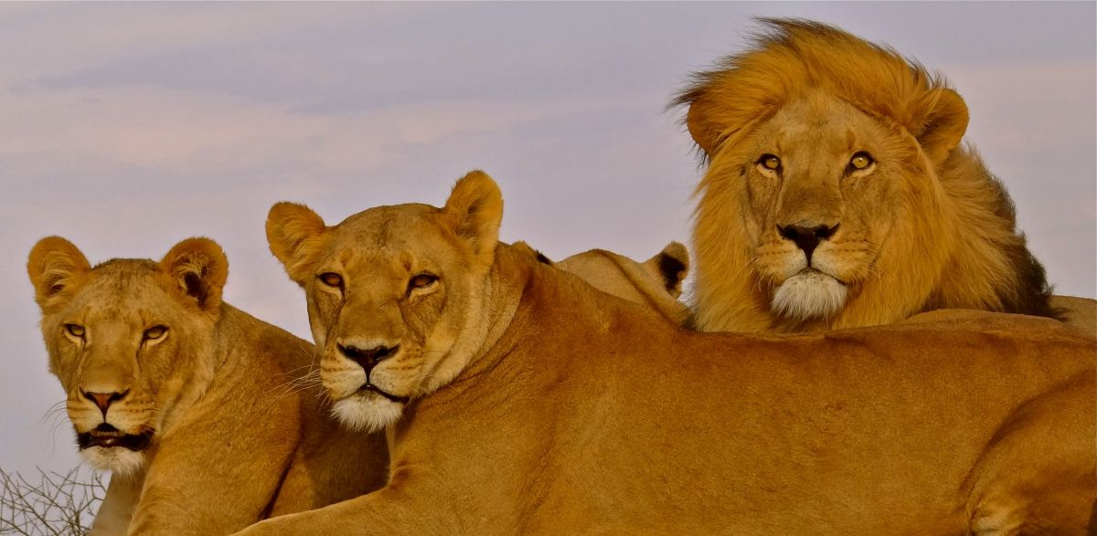 It's certainly a great opportunity to get up close and personal with wild lions