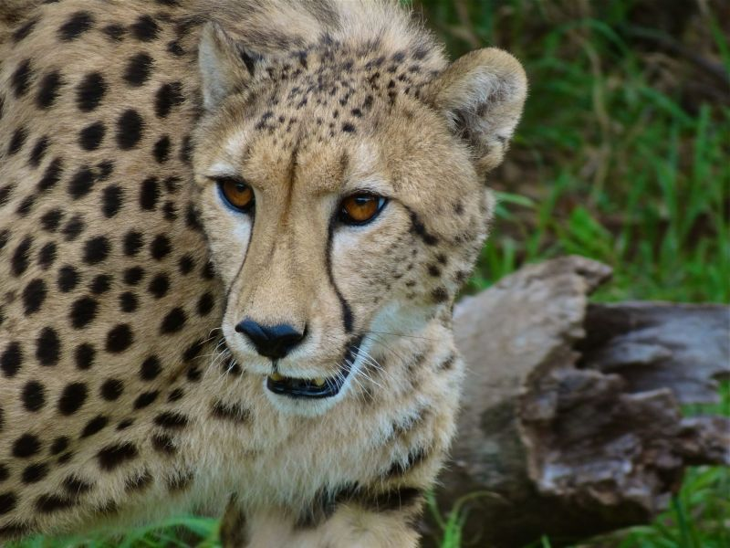 Cheetahs are very endangered