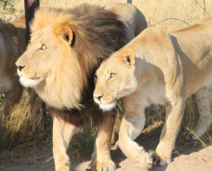 The Lions here are fed wildlife and cattle  and kept in huge penned areas