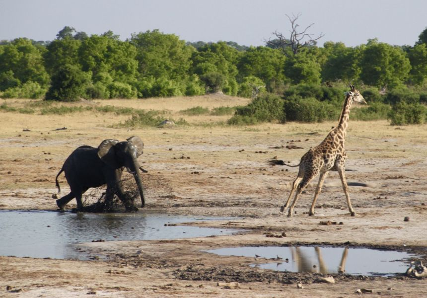 The kids got a big kick out of watching this young elephant run off a giraffe from his personal watering hole