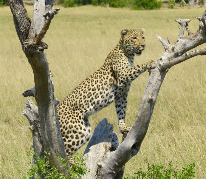 Although leopards are nocturnal they often hunt in the early morning