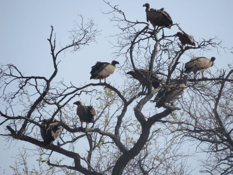 Near our camp we spotted a tree full of vultures