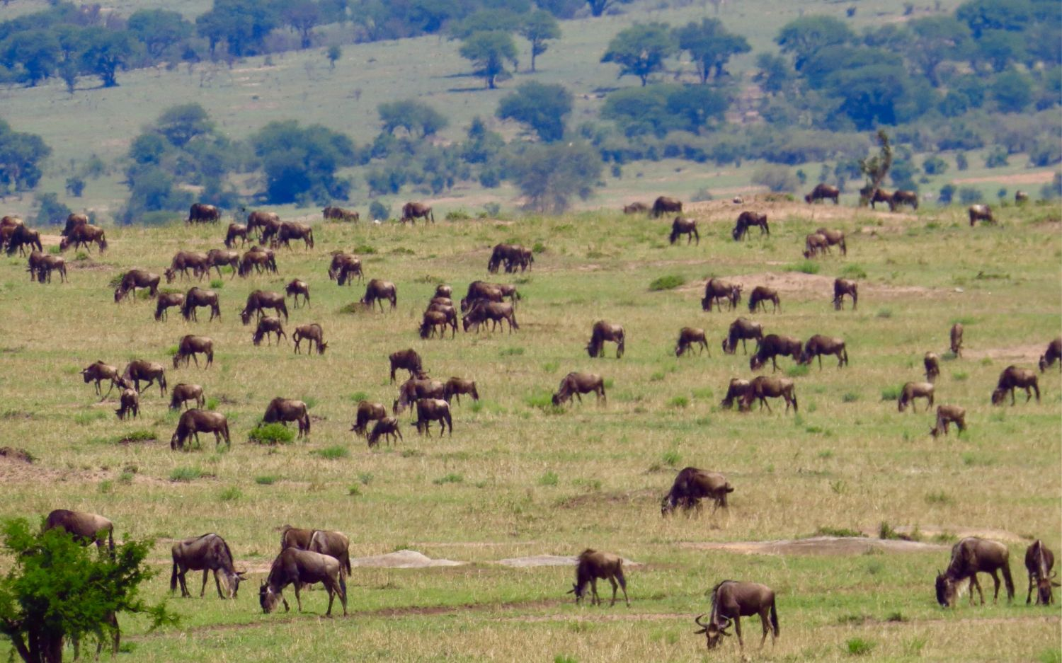 Wildebeest and zebra were everywhere, feeding on the new green shoots of grass